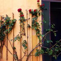 Roses Creeping