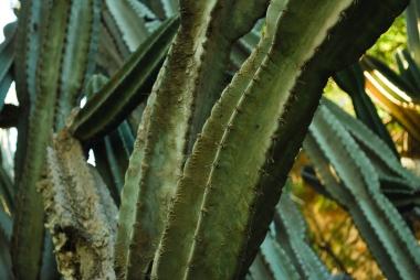 Carthage Cactus